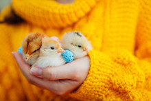 Easter Chicken. Woman Holding Three Orange Chicks In Hand Surrounded With Easter Eggs.