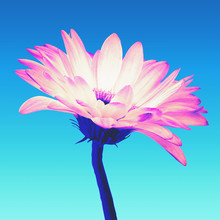 Neon Colored Pink And White Gerbera Flower Isolated On A Turquoise Gradient Background With Clipping Path. Closeup. Vaporwave, Retrovawe, Neon Colors