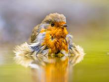 Bathing Red Robin