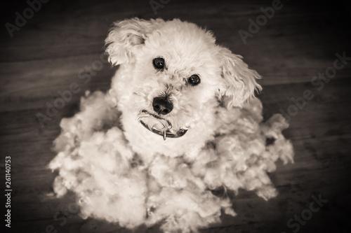 Fényképezés  After grooming dog, bichon frise