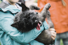 A Person Carries A Tired And Happy Dog Tired On A Walk. Cairn Terrier.
