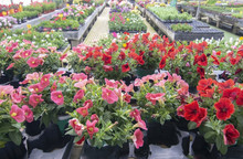 Petunia Flowers In Pots Inside Greenhouse