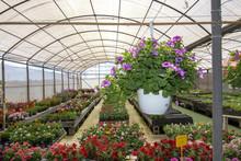 Petunia Flowers In Pots Inside...