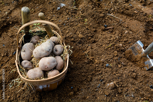 Photo Raw whole foods. Planting potatoes to grow your own vegetables