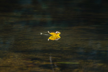 Autumn Leaf Floating In A Stream