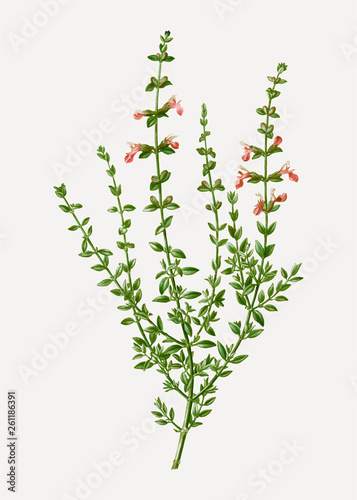 Cuadros en Lienzo  Cat thyme plant