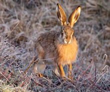 European Hare Or Brown Hare
