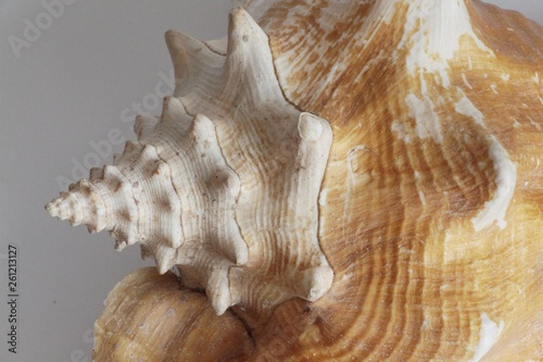 Shell of queen conch, also known as the Lobatus gigas or Strombus gigas, on the gray background Fototapet