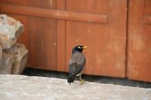 Mynah Bird (Bhutan)