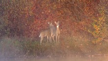 Pair Of White-tailed Deer Does...