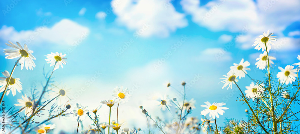 Fototapety, obrazy: Beautiful spring summer natural floral background with daisy flowers in front of bright blue sky with white clouds on nature, copy space, wide format.