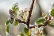 canvas print picture - Frostschutzberegnung  im Obstbau, Schutzwirkung bei Nachtfrösten von Apfelbäumchen