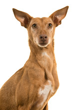 Portrait Of A Podenco Andaluz Looking At The Camera Isolated On A White Background