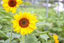 Sunflower At Organic Green House. Greenhouse Farming Organic Vegetable Agriculture Technology.