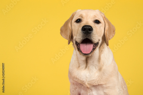 Spoed Foto op Canvas Hond Portrait of a blond labrador retriever puppy on a yellow background