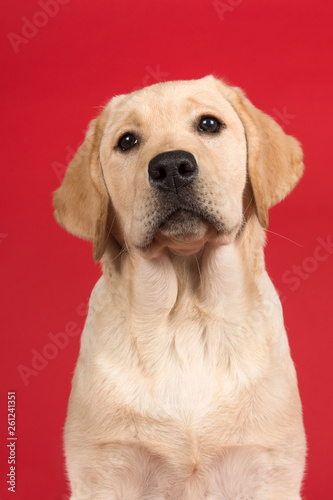Fototapeta Portrait of a cute labrador retriever puppy looking up on a red background in a vertical image obraz na płótnie