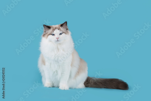Valokuvatapetti Pretty ragdoll cat sitting looking at the camera on a blue background