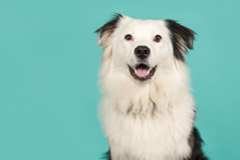 Portrait Of A Black And White Australian Shepherd Looking At The Camera On A Turquoise Blue Background With Space For Copy