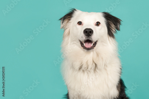 Wallpaper Mural Portrait of a black and white australian shepherd looking at the camera on a tur