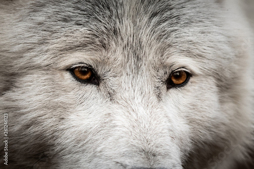 Canvas Prints Wolf White wolf in the forest