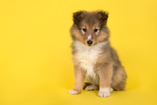Shetland Sheepdog Puppy Sitting On A Yellow Background Looking At The Camera