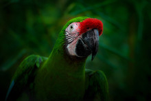 Smiling Parrot On A Dark Green...