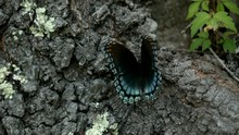 Black And Blue Red-Spotted Pur...