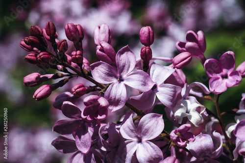 Close up on a lilac flowering plant viariety called Mirabeau, alos known as common lilac