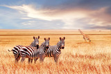 Fototapeta Sawanna - Group of wild zebras and jiraffe in the African savanna against the beautiful sunset. Wildlife of Africa. Tanzania. Serengeti national park. African landscape.