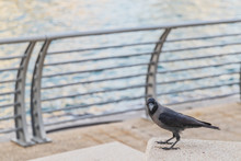 Black Crow On Granite Countertops. With Blurred Background.