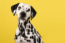 Portrait Of A Dalmatian Dog Lo...