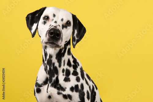 Portrait of a dalmatian dog looking at the camera on a yellow background seen fr Fototapet