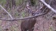 whitetail double brow tine deer buck looks at camera very close