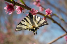 Scarce Swallowtail Butterfly On A Pink Flower On Branch In Springtime. Iphiclides Podalirius