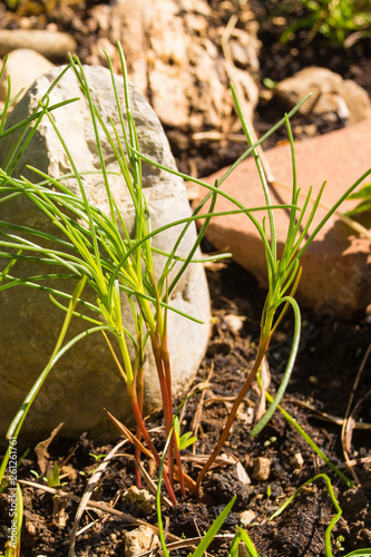 Photo A young saltwort plant growing in a garden in north east Italy, where it is known as agretti
