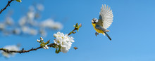 Der Singvogel Blaumeise Und Ei...