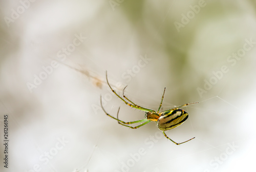 Macro photography of the beautiful orchad spider hanging from its web in a garden at the Andean mountains of central Colombia Wallpaper Mural