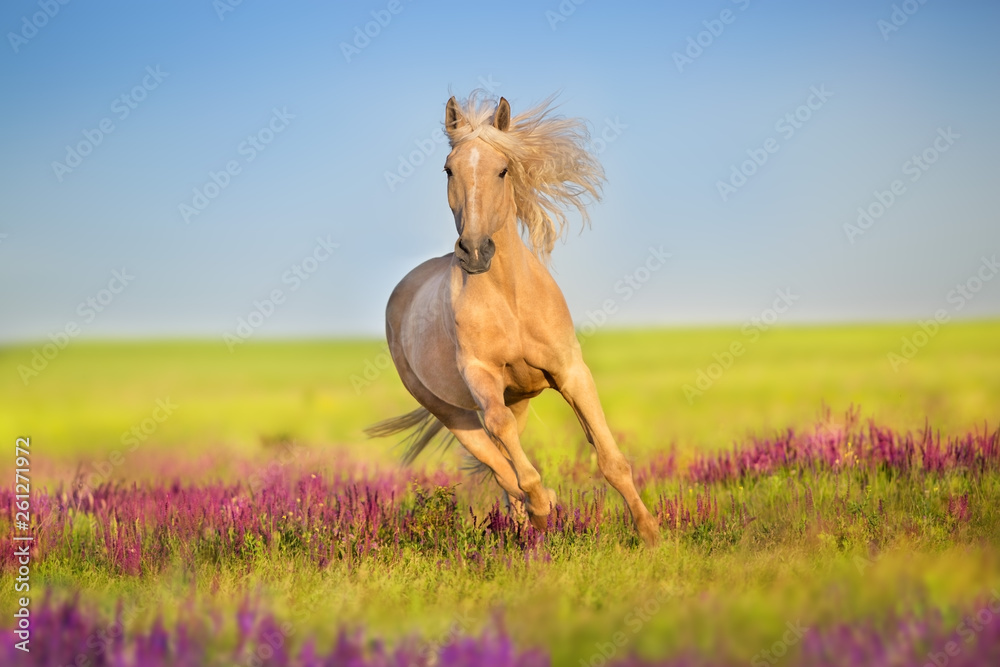 Fototapety, obrazy: Cremello horse with long mane free run in flowers meadow