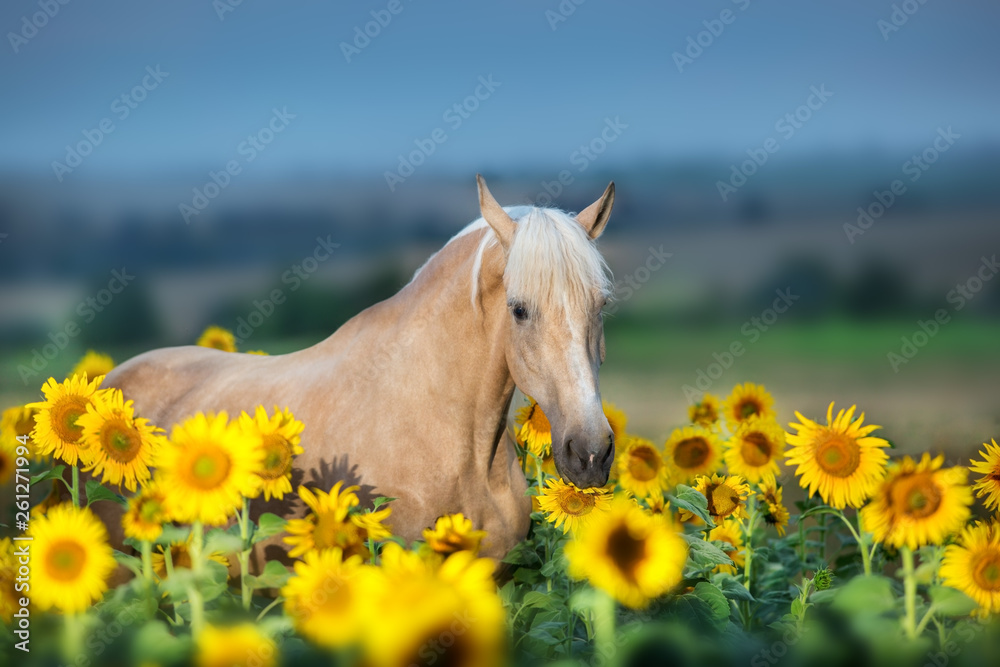 Fototapety, obrazy: Palomino horse portrait in sunflowers at sunset