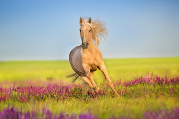 Fototapeta Łąka Cremello horse with long mane free run in flowers meadow