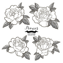 Peony Flowers Outlines. Hand D...