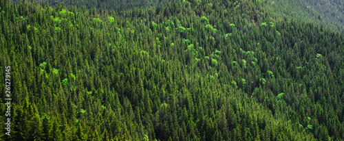 Wall Murals Forest Creative idea for background. high spruce pattern in the mountains