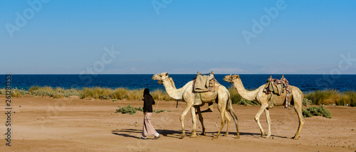 Fotografija  driver leads a herd of three camels along the coast