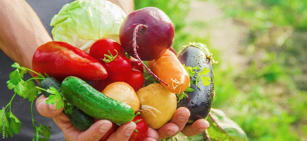 Fototapeta homemade vegetables in the hands of men. harvest. selective focus.