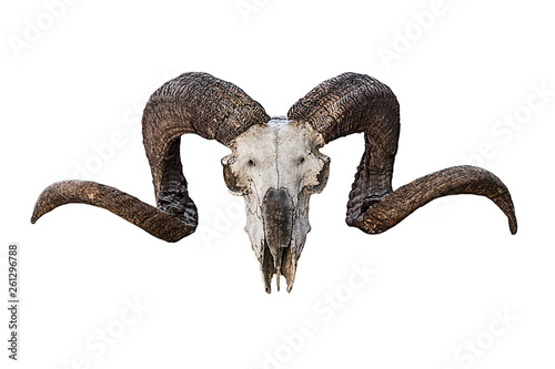 Papel de parede animal skull natural large curved brown horns on a white background