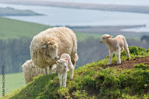 Fotografiet Sheep and Lambs