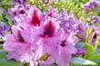 canvas print picture - Rhododendron im Garten