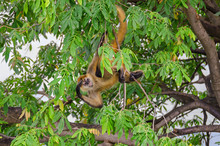 Geoffroy's Spider Monkey Or Black-handed Spider Monkey On A Tree On An Island In Nicaragua Lake