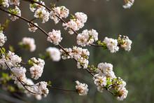 Pink Flowers Of The Blooming Shrub Viburnum × Bodnantense, Bodnant Viburnum.