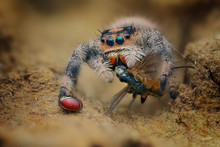 Close-up Of A Spider With Its Prey, Indonesia